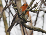 Robin in the branches.