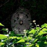 720-Spider Web