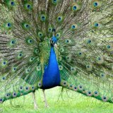 980-Peacock
