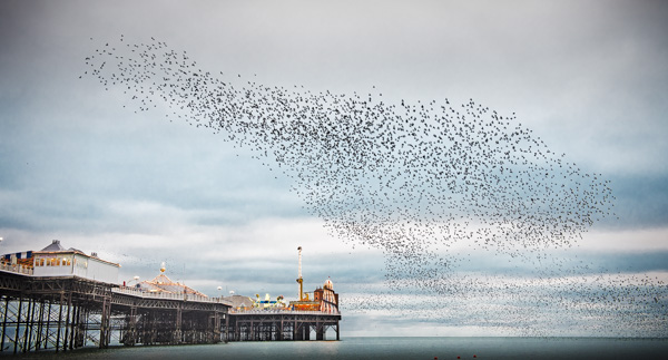 Brighton Murmuration