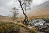 Glen Etive tree