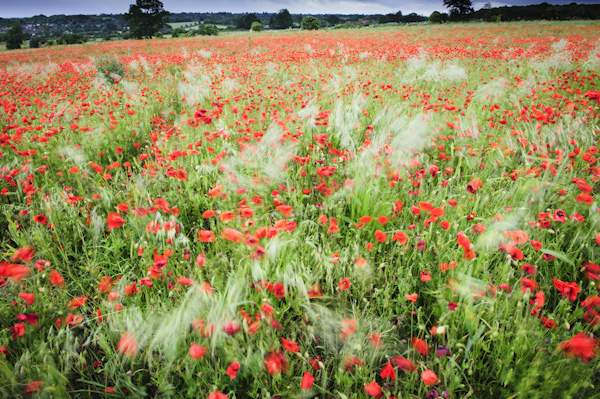 Heartwood poppies 5