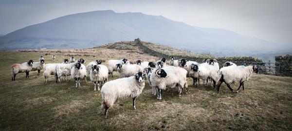 Lakeland sheep Blencathra