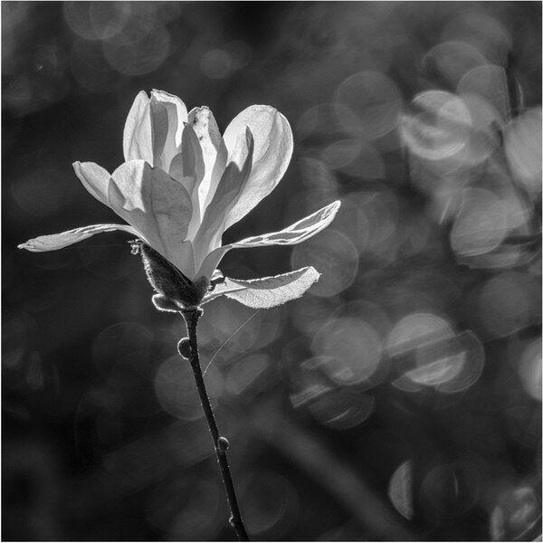 Backlit magnolia