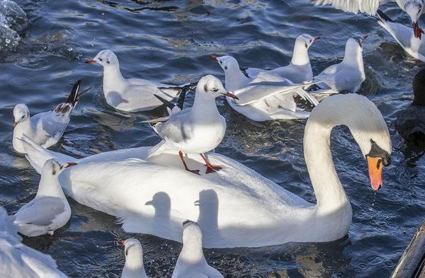 Black Headed Gulls and Mute Swan