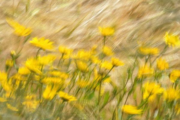 Dandelions in Wheatfield