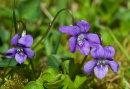 Dogstooth Violets