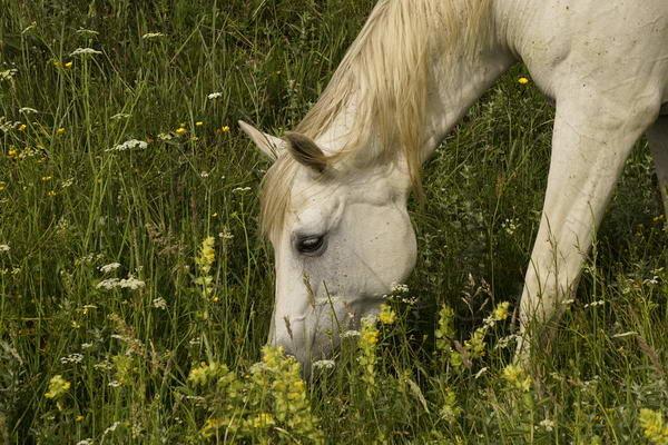 Grey Horse Grazing