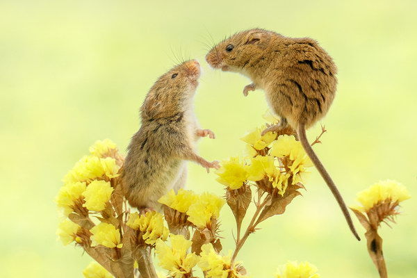 Harvest mice greeting