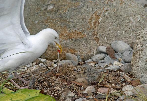 Herring Gull & Chick