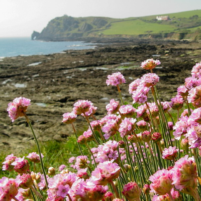 Sea thrift (Prawle)