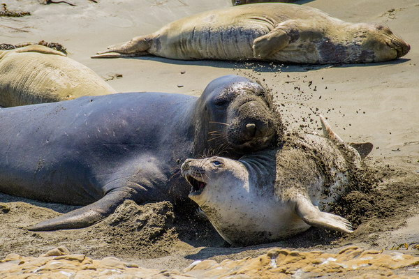 'Stop kicking sand in my face' (Elephant seals)