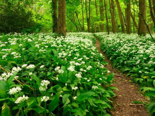 Wild Garlic - West Alvington Woods