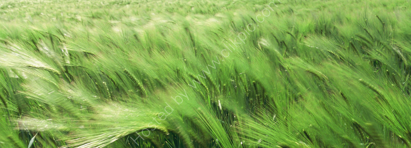 Barley blowing in the wind