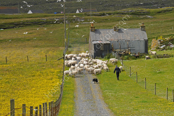 Gathering sheep, Berneray