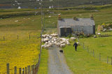 Gathering sheep, Berneray