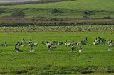 Barnacle Geese, Gruinart Flats