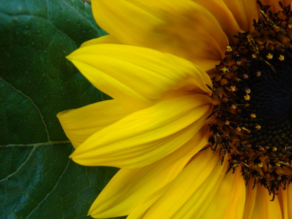 Sunflower Section