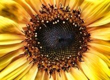 Sunflower centre