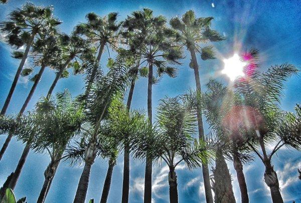 Rodeo Drive palms