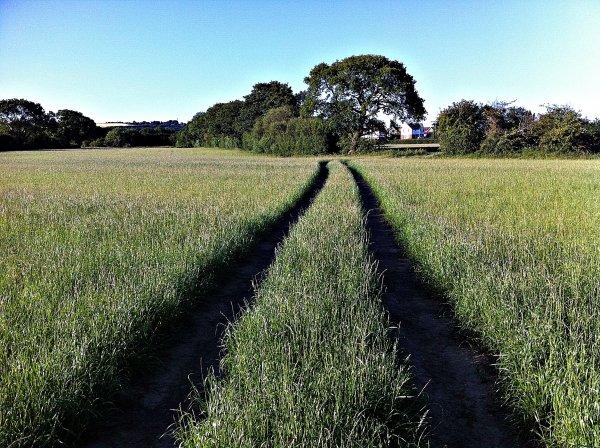 Cornfield tracks