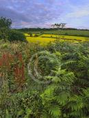 Midsummer Hedgerow