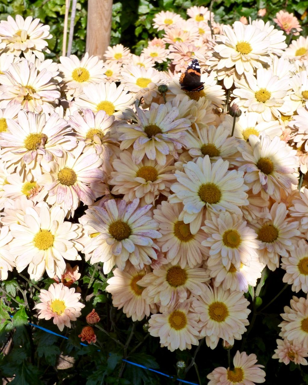 Self Portrait on Chrysanthemum Honey Enbee Wedding with Red Admiral 2018