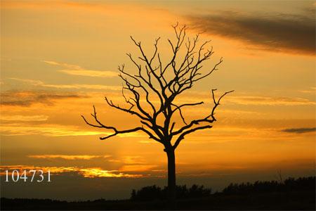 Dead tree at sunset.
