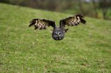 greyowl2