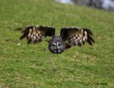 greyowl3