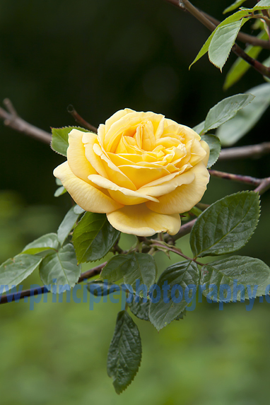 Lemon Rose