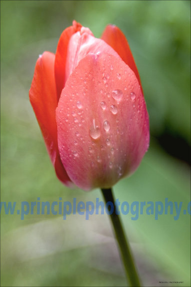 Dew Dropped Red Tulip