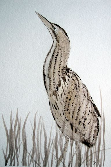 Bittern - pen and ink by Judy Palmer