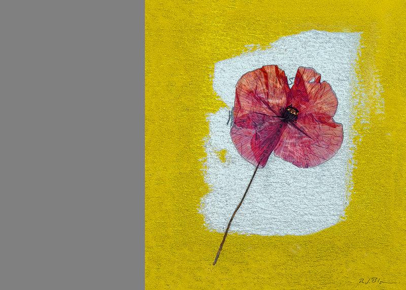 Yellow/Red Poppy