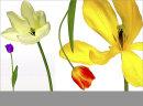Four Tulips No6