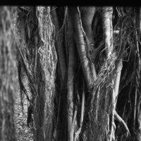Banyan Tree