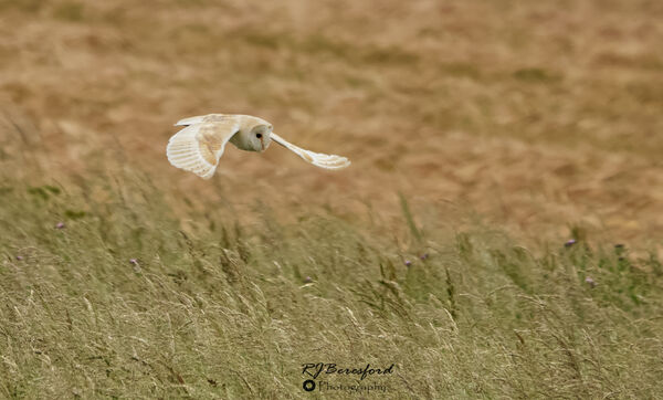 Barn Owl Glide