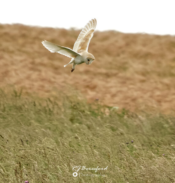 Barn Owl Hover