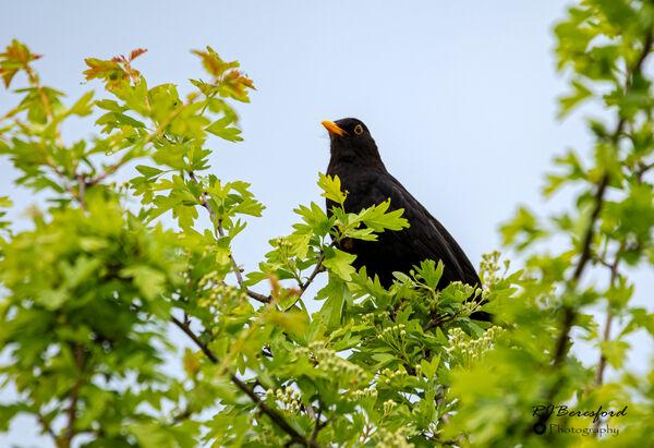 Blackbird in the TreeTops