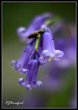 Bluebell Trumpet Close-Up
