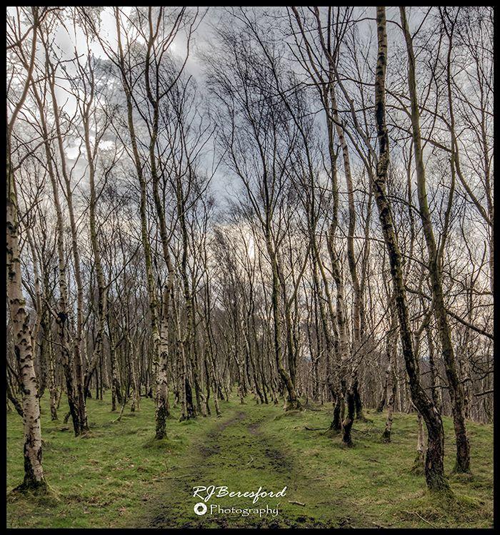 Bole Hill Birch Trees