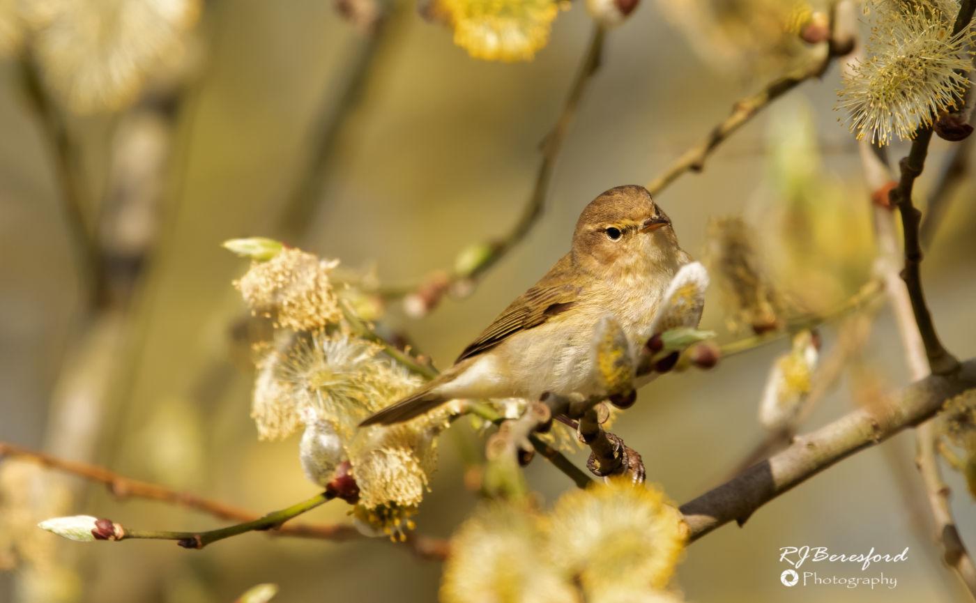 Chiff Chaff in Spring Blossom