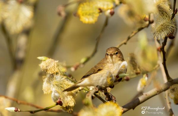 Chiff Chaff in Spring Blossom 2