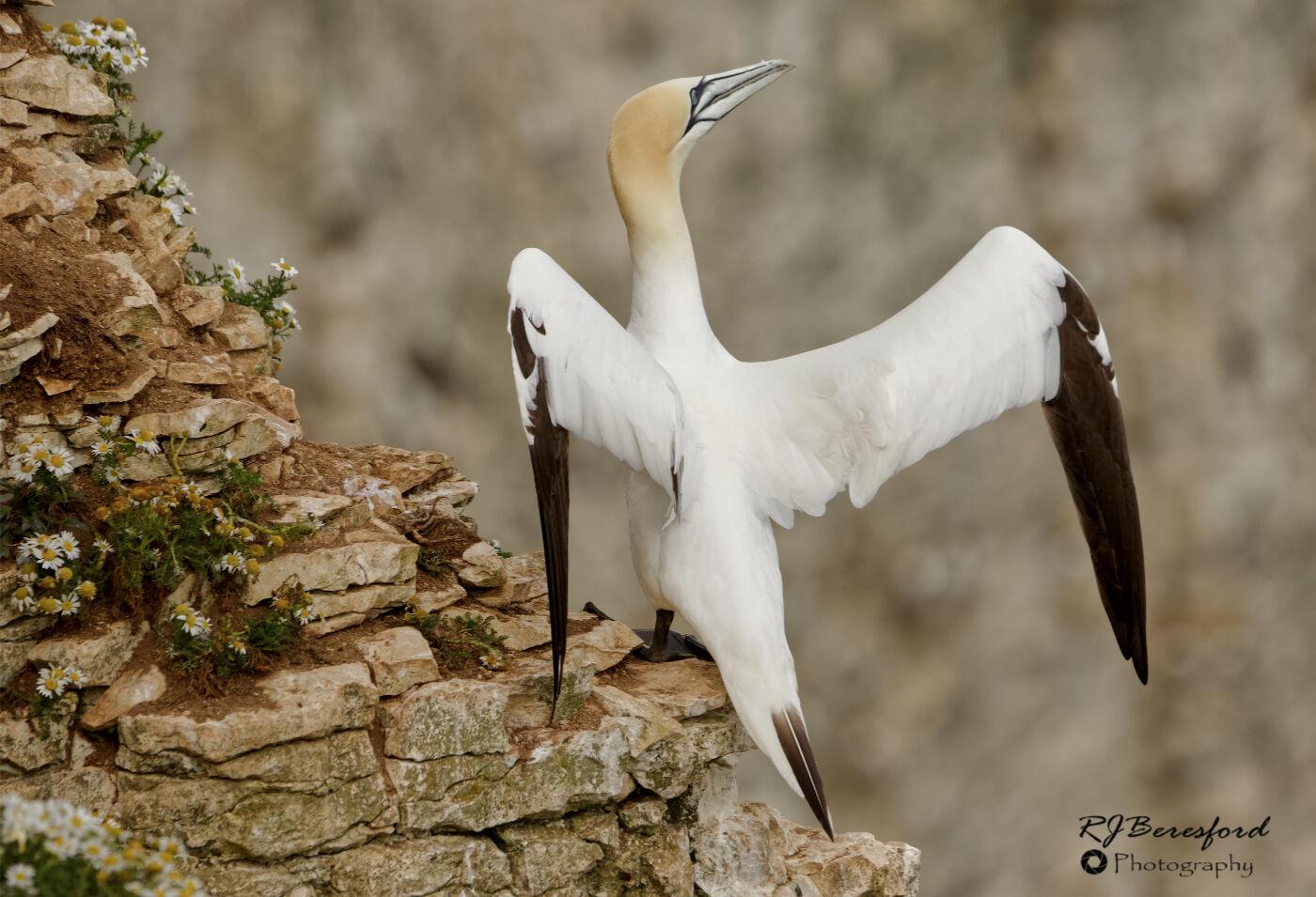 Gannet Basking