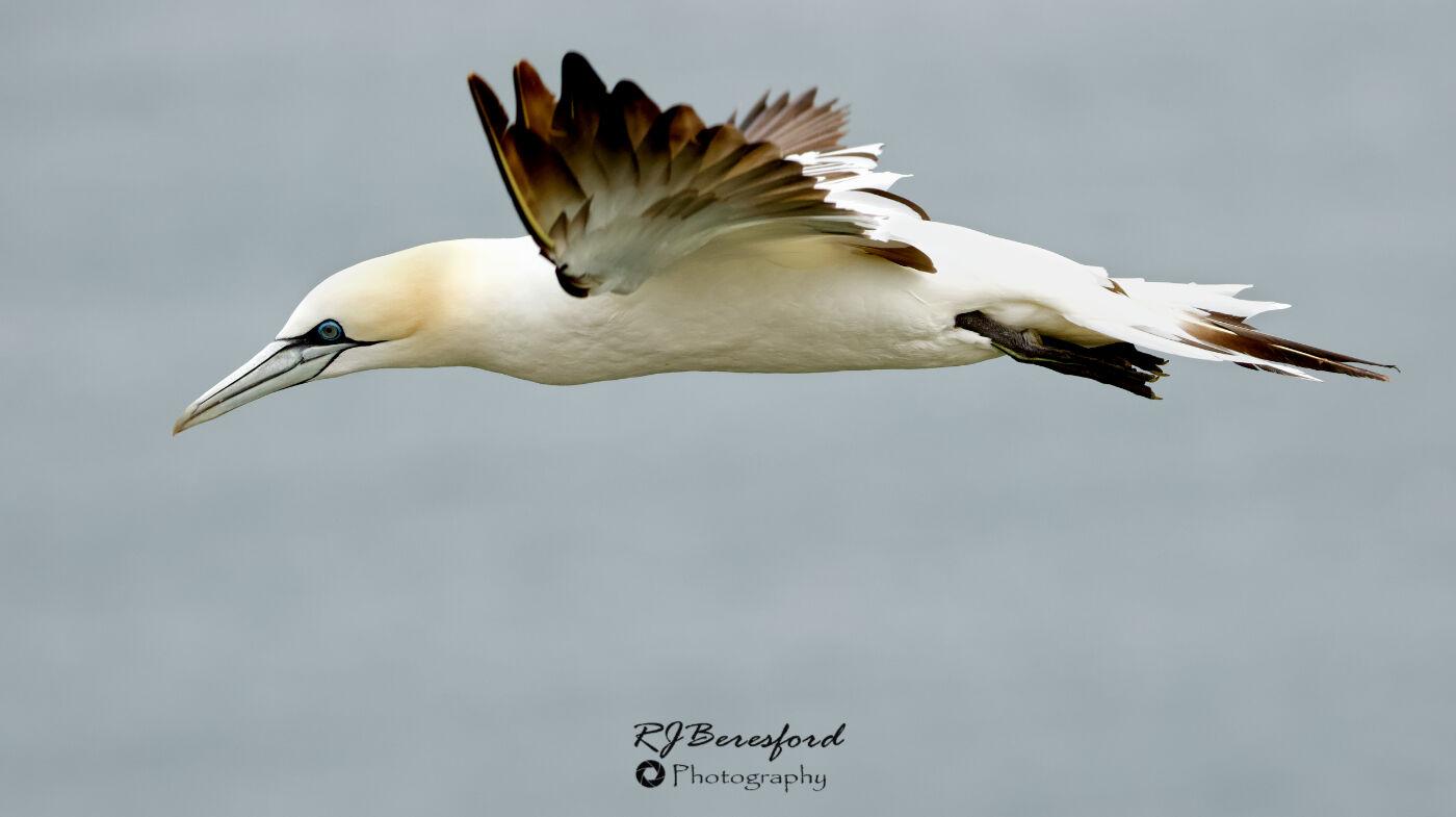 Gannet Flight Profile