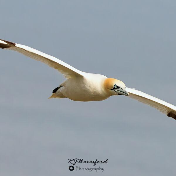Gannet Gliding