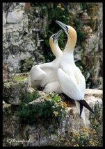Gannet Greeting