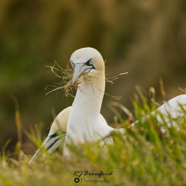 Gannet and a Beak Full of Grass