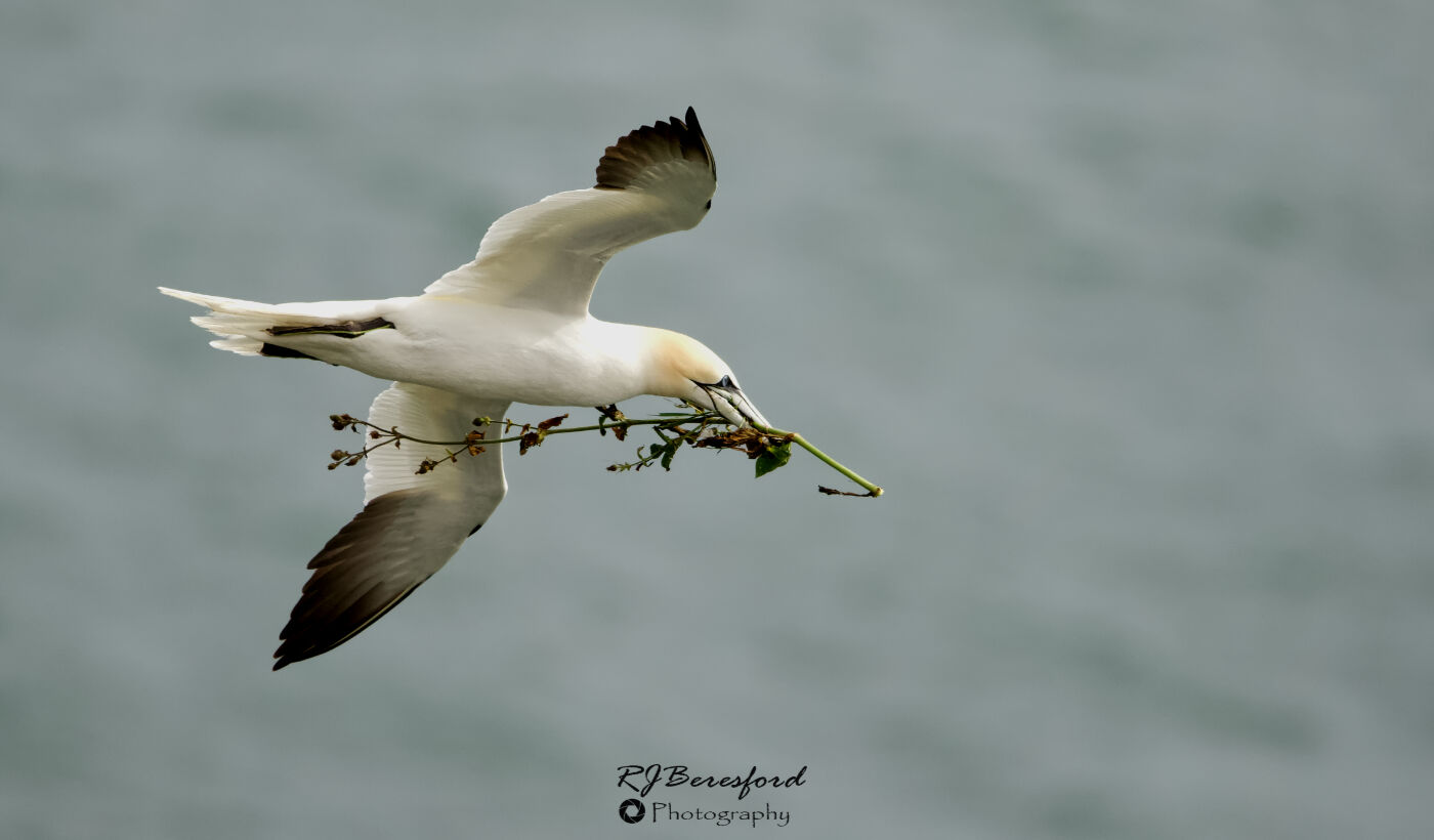 Gannet with Nesting Material