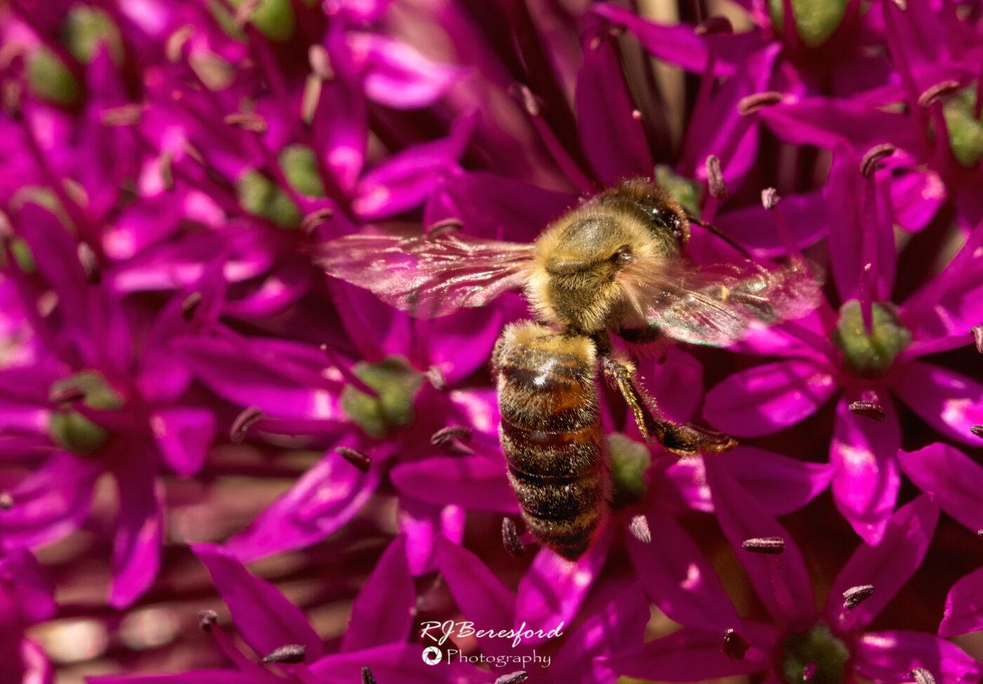 Honey Bee on Allium